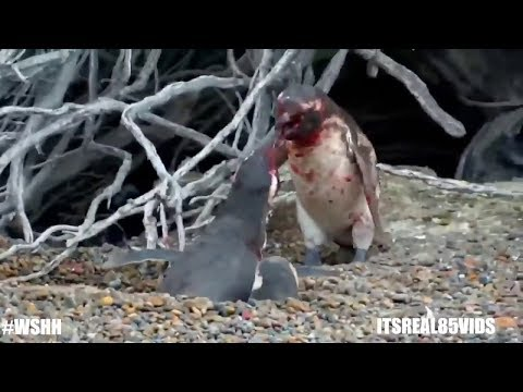 Cryptozoology | Emperor Penguins in Antarctica National Geographic The Best Attacks Of Wild Animals