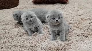 Котята Шотландские, вислоухие котята.