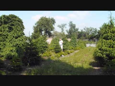 Shearing Christmas Trees at Billingley 2013 - Shearing Christmas Trees At Billingley 2013 - YouTube