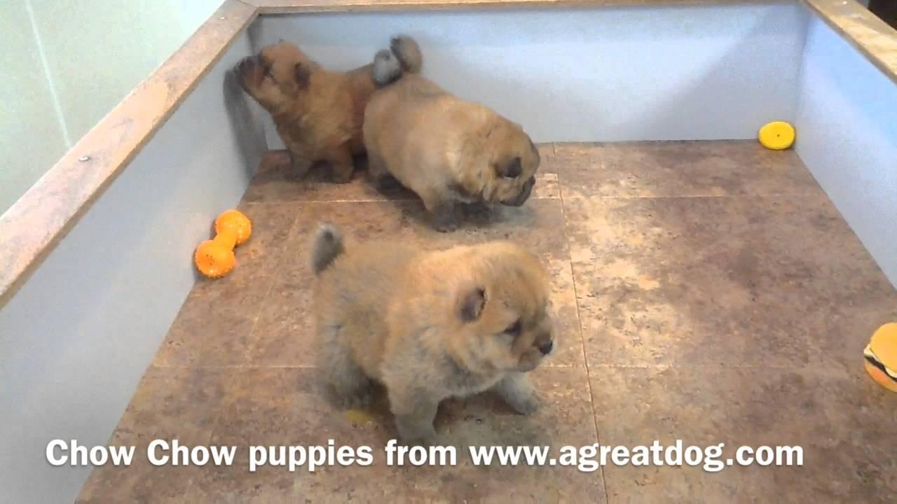 www.agreatdog.com presents Baby Chow Chows - YouTube