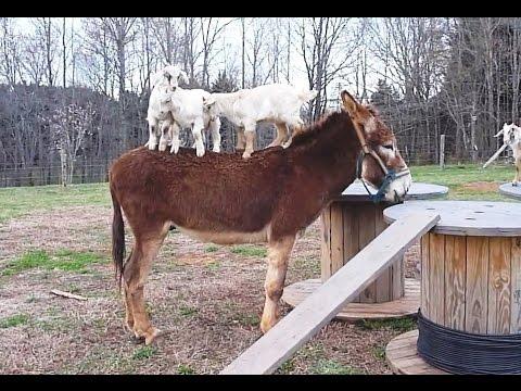 Goats Riding Donkeys Compilation - YouTube