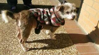 Baby Girl An Adoptable Boston Terrier Shih Tzu Mix