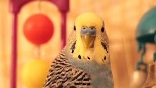 Попугай: Прикол смотреть до конца