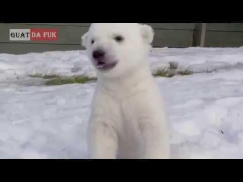 Oso polar ve por primera vez la nieve Hermoso