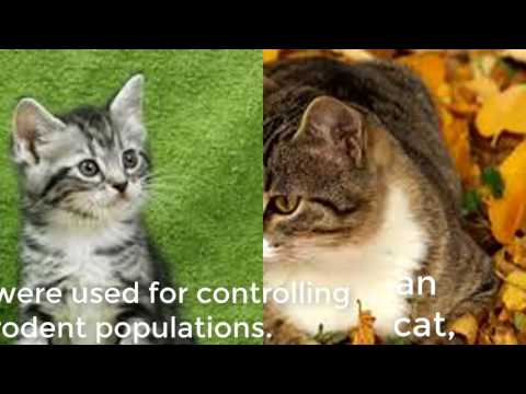 American cat  Video- american shorthair cat