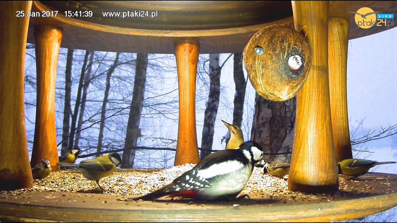 Barbarka, Tola i sikorki w karmniku dla ptaków nad Soliną