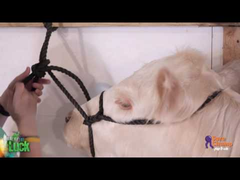 Show Cattle: How To Tie Up A Show Calf
