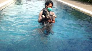 """Miniature Schnauzer """"rusty"""" Swimming For The First Time"""