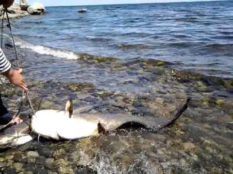 ловля сома в волгоградском водохранилище