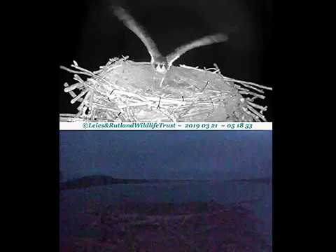 Mayas early morning nestcuppings, then chase? ~ ©Rutlland Osprey Project