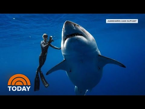Hawaii Diver Swims With Record Breaking Largest Great White Shark | TODAY