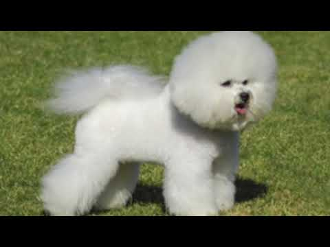 Bichon Frise - Dog Breed Information