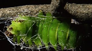 Time-Lapse Footage of a Giant Caterpillar Weaving Its Cocoon