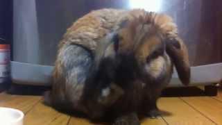 2012年12月31日の大晦日の夜に ルナくんは長い垂れ耳ちゃんをキレイキレ...