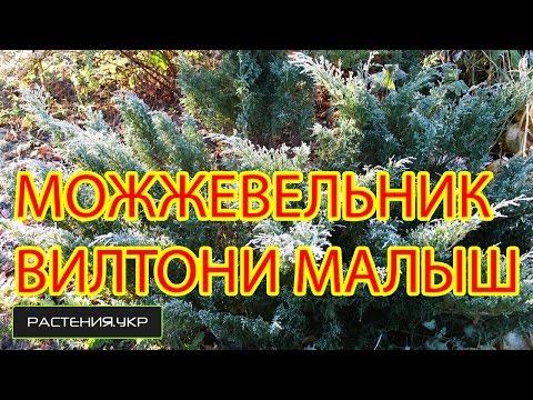 Можжевельник казацкий - посадка и уход, размножение