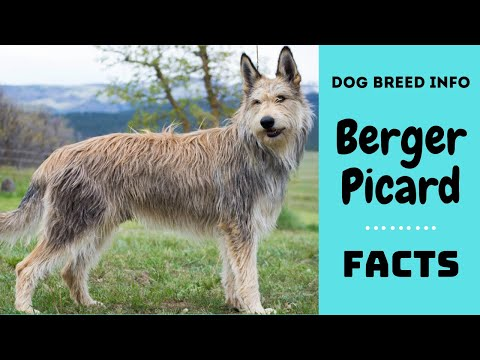 Berger Picard dog breed. All characteristics and facts about Berger Picard dogs