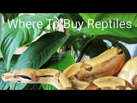 Where Should You Buy Reptiles?