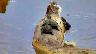 Дикая природа Африка : Весёлые черепашки на водопое WildLife Funny turtles at Nkorho Pan waterhole(LIVE ВИДЕО ПРЯМОЙ ЭФИР ДИКАЯ ПРИРОДА ЮЖНАЯ АФРИКА ЗВЕРИ и ЖИВОТНЫЕ Весёлые черепашки на водопое Nkorho Pan в запов..., 2015-01-27T09:57:32.000Z)