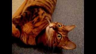 Bengal Katze Manjit beim Erzählen