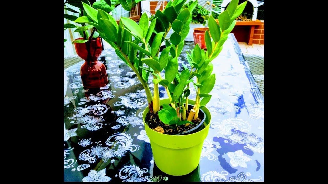نبات الزاميا العناية به و تكاثره ونوع السماد المستعمل Youtube