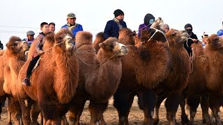 Camel festival held in northwest China