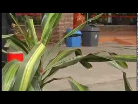 Kelisa Emas @ malaysian golden arowana [In Malay]