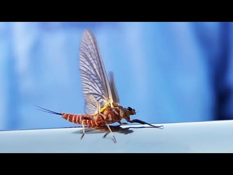 Twilight Drakes by Todd Moen - Upper Columbia River Fly Fishing