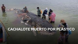 Encuentran un cachalote varado con 6 kg de plástico dentro