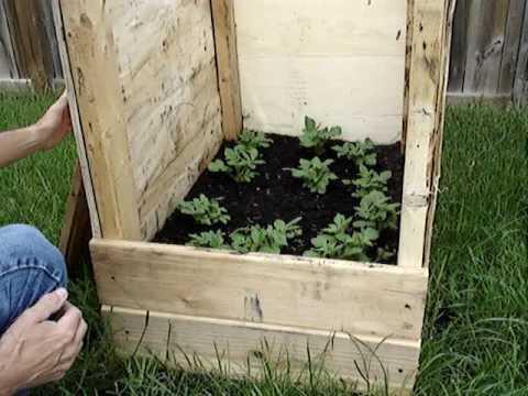 How to grow potatos in potatos boxes for high yield