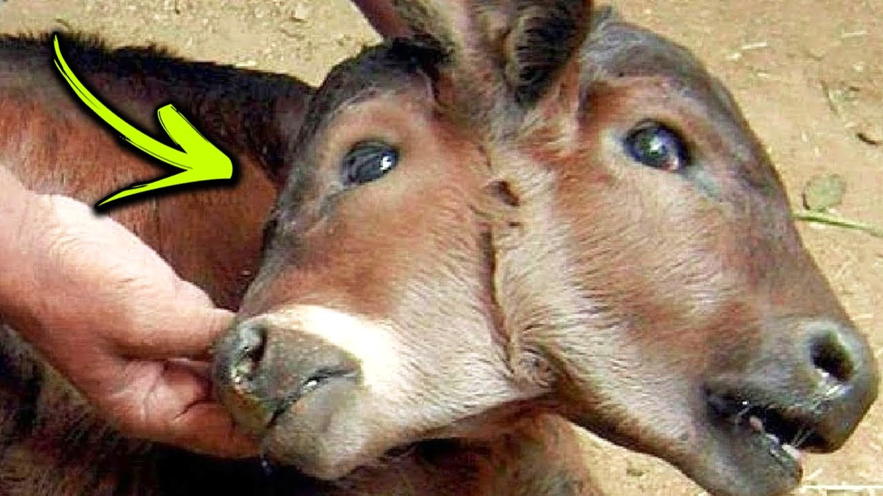 10 Unusual Two Headed Animals from Around the World