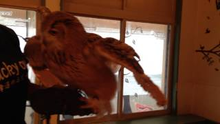 フクロウとハグ♪ Hugging the world's largest owl! @ Lucky Owl cafe in Osaka