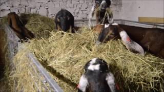 Anglonubijské kozy v Hamru, listopad 2016