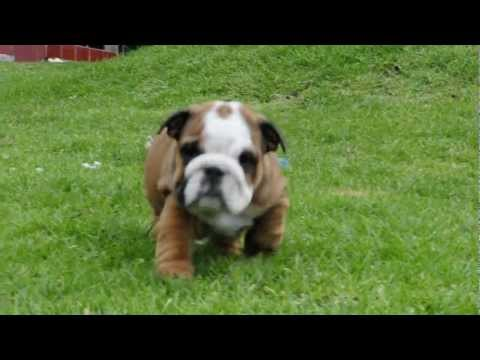 Mauiexpo's Rocky Balboa English bulldog puppies for sale