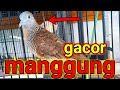 Perkutut Lokal Gacor Dan Manggung Bikin Perkutut Ikut Bunyi  Mp3 - Mp4 Download