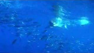 great white sharks at guadalupe island
