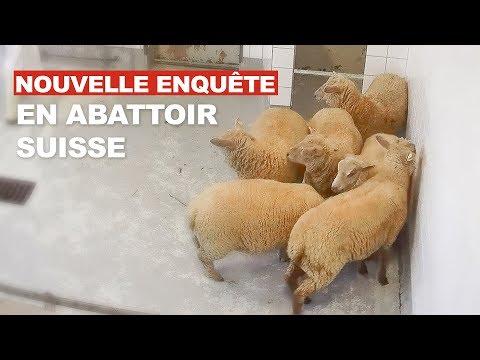 Moudon – Enquête choc en abattoir suisse