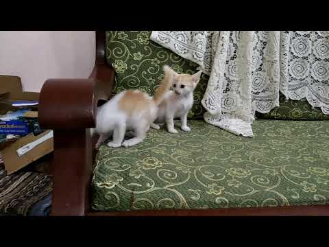 Cute kittens playing (Zawhte note infiam)