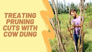 Trees at Aanandaa | Treating Pruning Cuts with Cow Dung