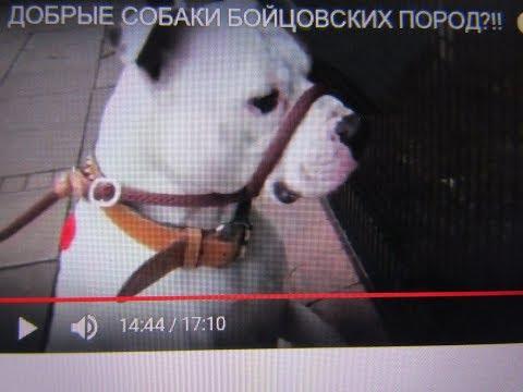 Вопрос: Почему в России у охотников не популярны собаки Аргентинской дог?