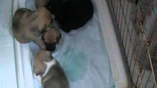 4 Week Old Puggles Potty Training Cute
