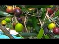 *Buy Olive Tree* +Plant BEST OliveTrees+In TX, GA & FL+2017+