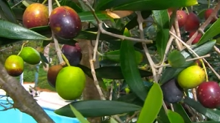 Buy Geogia **Olive Trees** Green, Blue & Black Olives ++ Olive Trees SALE ++