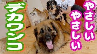 珍しい犬種、超大型犬のレオンベルガーが来たよ! □□□□ 看板犬ワンパチ...