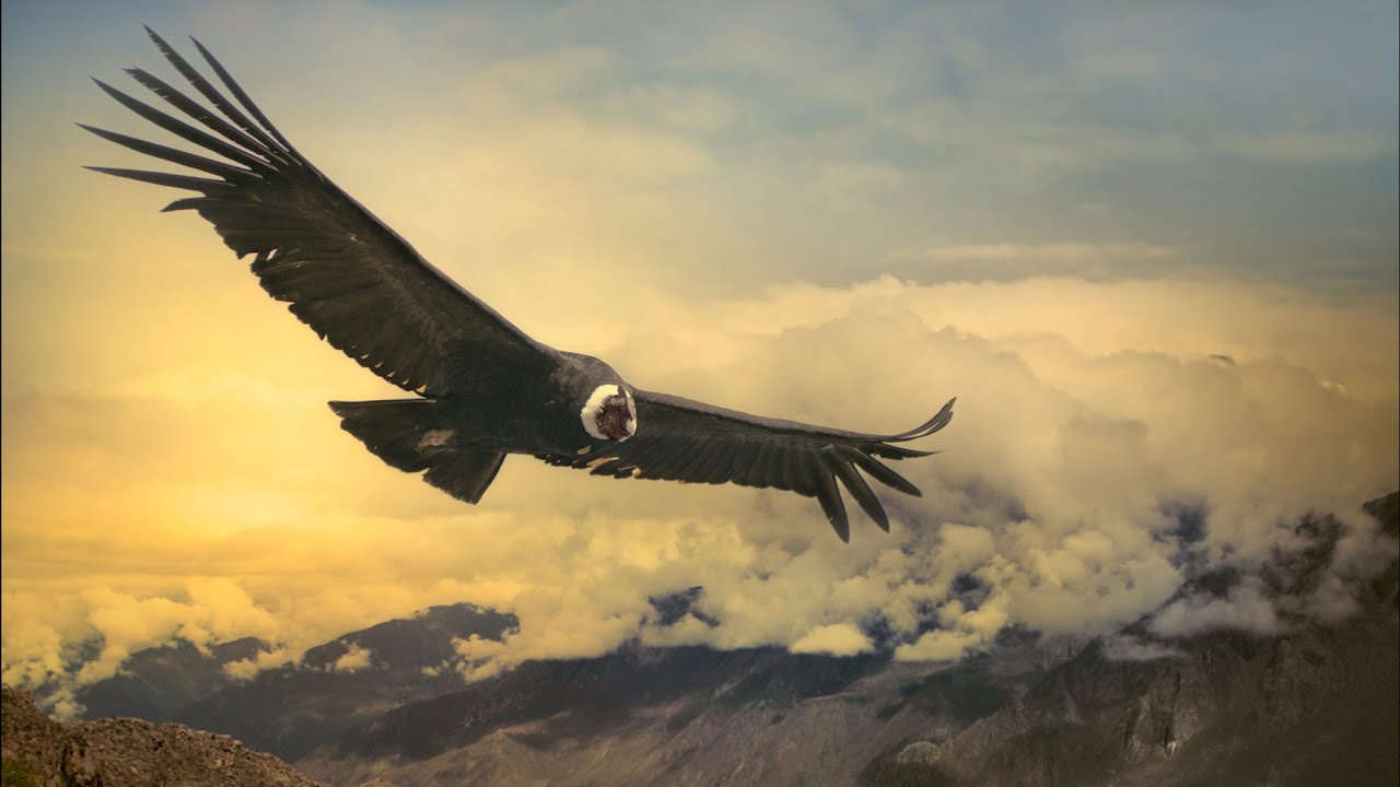 Andean Condor Can Fly 100 Miles Without Flapping its Wings