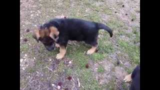 7 Week old GSD puppies going out for potty & food
