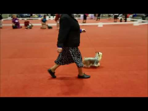 Space Coast Silky Terrier Breed 12 13 16