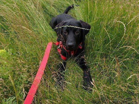 Heddie - Labrador Puppy - 2 Weeks Residential Dog Training