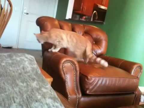 Cat playing fetch