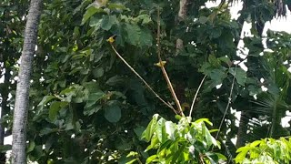 Mikat Burung Kolibri Pakai Mp3