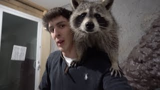 Tito the Raccoon is no longer with us...